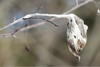 Close up of overwintering webs of browntail moth in ornamental crabapple